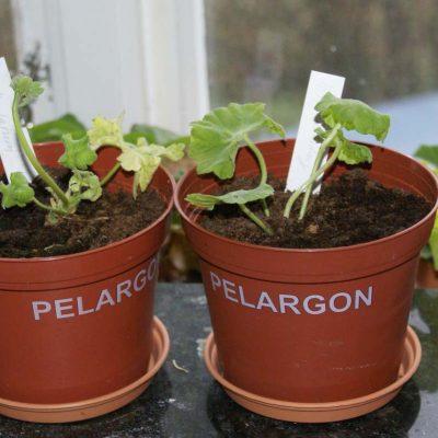 Pelargoner
