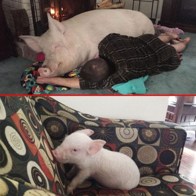 500x500xadopted-mini-pig-grew-up-to-670-pounds-1-3211-pic1.jpg.pagespeed.ic_.Uua4d8Srkv.jpg